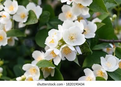 close-up on white flowers of frangipani pustorylu