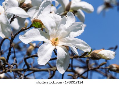 close-up on white spring tree flowers
