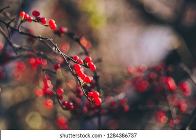 closeup on winterberries