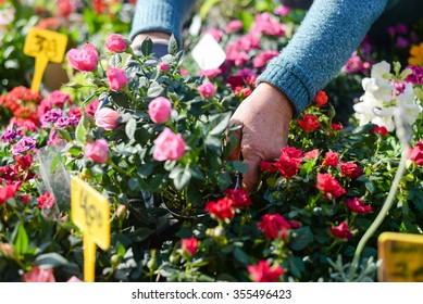Closeup on woman gardeners hands planting small roses in pot with dirt or soil