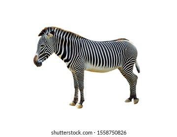 Closeup on the zebra with stripes on the legs isolated on white background (Grevy's zebra scientific name), also known as the imperial zebra that is found in Kenya and Ethiopia.