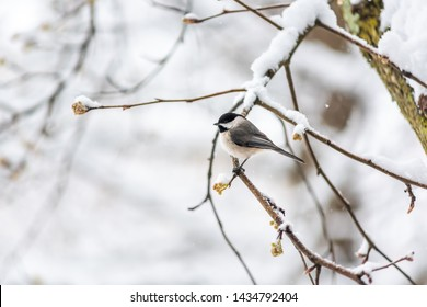 Closeup of one black-capped or carolina chickadee bird sitting perched on tree branch during winter snow in Virginia with flower buds in spring