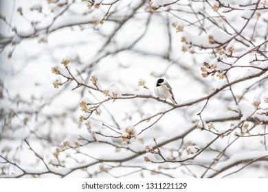 Closeup of one black-capped chickadee bird sitting perched on tree branch during heavy winter snow colorful in Virginia with flower buds