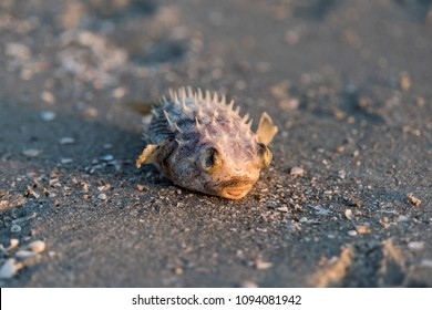 Closeup of one dead blowfish fish washed ashore during red tide algae bloom toxic in Naples beach in Florida Gulf of Mexico during sunset on sand