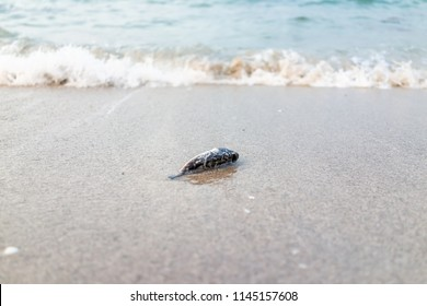 Closeup of one dead fish washed ashore during storm in Miami, Florida during sunset on sand