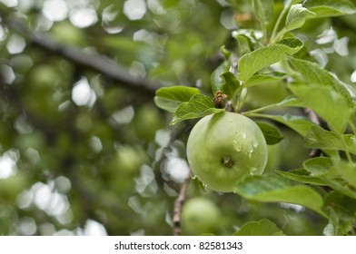 closeup of one green apple growing on the tree, droplets from recent rain