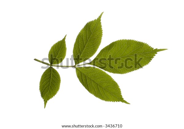 close-up of one green leaf on white