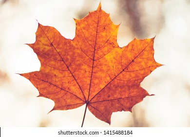 Closeup of one maple leaf in the sunlight of autumn forest. Indian summer season. Instagram style