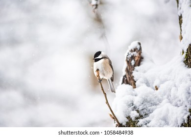 Closeup of one small black-capped chickadee, poecile atricapillus, bird sitting perched on tree branch during heavy winter snow colorful in Virginia, snow flakes falling