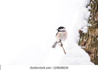 Closeup of one small black-capped chickadee, poecile atricapillus, bird isolated perched on tree branch during heavy winter colorful in Virginia, snow flakes falling