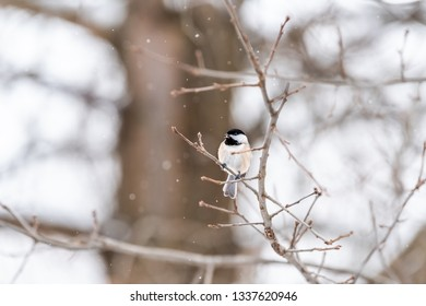 Closeup of one small black-capped chickadee singing, poecile atricapillus, bird sitting perched on tree branch during heavy winter snow chirping in Virginia, snow falling