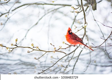 Closeup of one vibrant saturated red northern cardinal, Cardinalis, bird sitting perched on tree branch during heavy winter snow colorful in Virginia, snow flakes falling eating flower leaf buds
