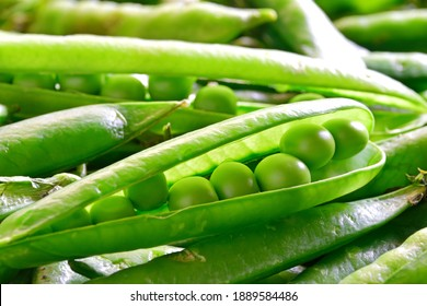 Closeup of open, fresh green sweet pea pod on a heap of farm fresh seet peas showing natural inside arrangement how peas, beans are attached to the pod. Shallow depth of field.