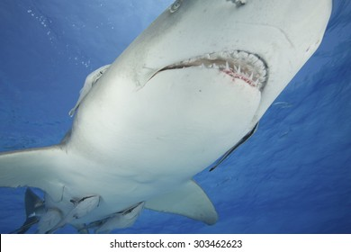 CLOSE-UP TO THE OPEN MOUTH OF A LEMON SHARK