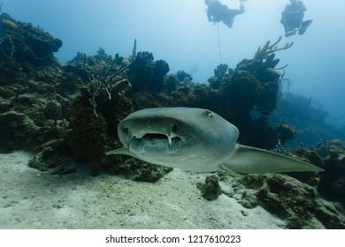 Closeup of open mouthed gray nurse shark speeding toward photographer