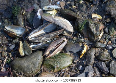 Closeup of open ribbed mussel shells on a wet rocky New England beach