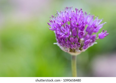 Close-up of opening purple allium flower with soft focus green tones in background. Photo shot locally at Denver Botanic Gardens Chatfield Farms, May 2018.