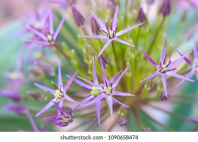 Close-up of opening purple allium flowers with soft focus flowers in background. Photo shot locally at Kendrick Lake Park Lakewood, CO, May 2018 with art photography lens which yields soft effects.