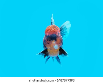 Lionhead Goldfish Images, Stock Photos & Vectors | Shutterstock