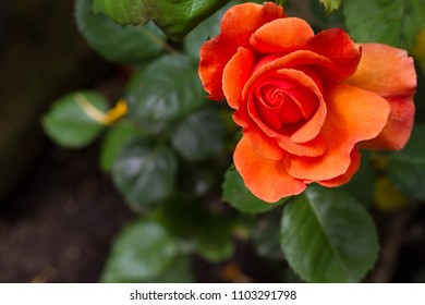 closeup of an orange Amber Sunblaze rose. Flower is on the left side of the frame with dark green leaves in the background