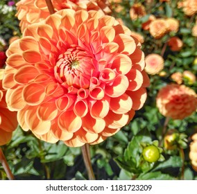 Close-up of a orange Ball Dahlia Flower in the Morning Sun.