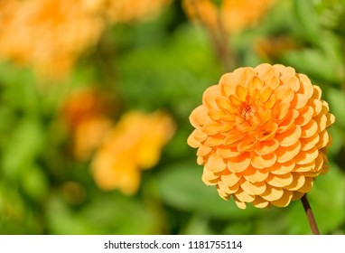 Close-up of a Orange Ball Dahlia on a sunny Day in the Summertime.