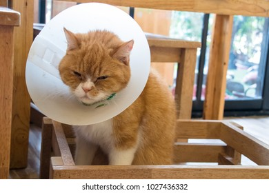 closeup of orange British shorthair cat with Elizabethan collar or E-Collar or Buster collar or pet cone or a pet lamp-shade or pet radar dish or dog-saver or cone of shame sitting in wooden box