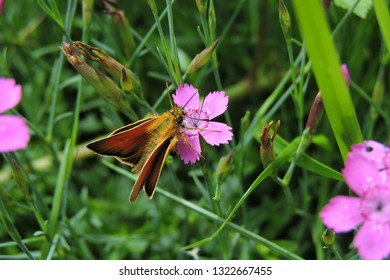A close-up of an orange butterfly on a pink carnation, the essex skipper, the small skipper