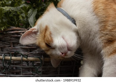 Closeup of an orange cat wearing a flea collar rubbing on a pot of flowers.