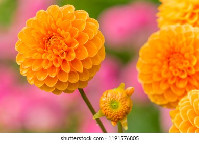 Close-up of Orange colored Dahlia (Asteraceae) Flower in the Morning Light.