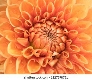 Close-up of an orange dahlia