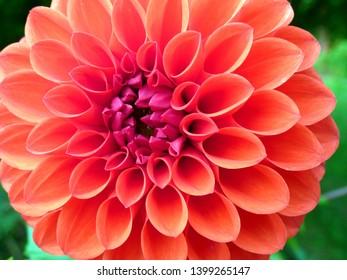 closeup of orange dahlia flower