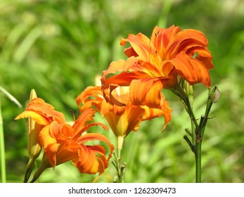 Close-up of Orange Daylilies in a bright day. This flower is native to Asia and also known as Tiger Daylily and Tawny Daylily. It is widely grown as an ornamental plant. The background is blurred.