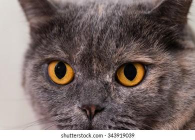 Close-up of orange eyes British Shorthair cat, 5 years old
