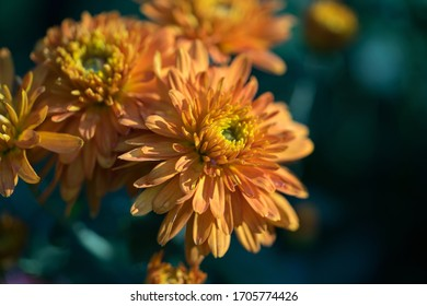 Closeup of orange flower chrysanthemum with dark background