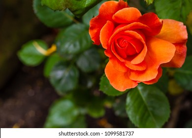 Closeup of orange flower in garden with green leaves in background. Flower appears to float