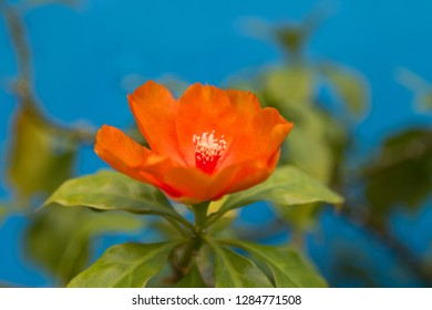 Closeup orange flower of Rose cactus, also called Wax rose, leafy cactus with blurred background (Pereskia bleo)