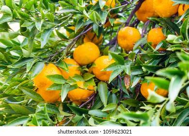 Close-up of orange fruit on orange tree, Greece