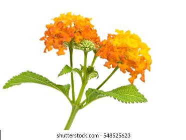 Closeup of orange isolated lantana flower blossoms