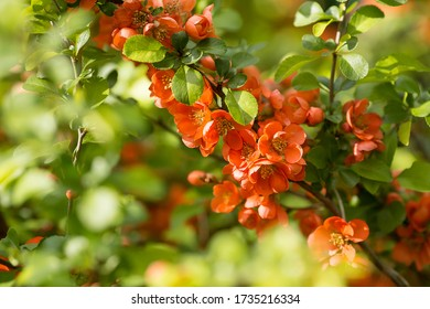 Close-up of orange japanese quince flowers. Orange japanese quince flowers in spring. Large flowers and buds of orange japanese quince on a green background. Copy space for text.