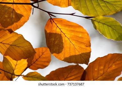 closeup of orange leaves of beech tree