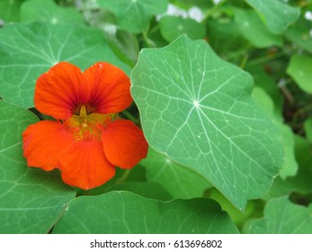 Closeup of Orange Nasturtium flower in bloom