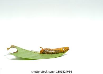 Close-up orange striped caterpillars isolated on white background