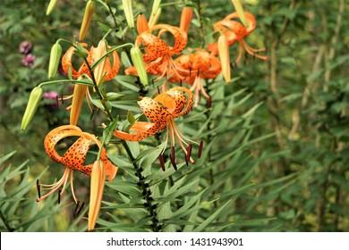 Closeup of Orange Tiger Lily (Lilium lancifolium) full blooming on the green garden background, Summer in GA USA.