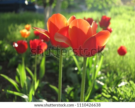 Closeup Orange Tulips Spring Flowers Horizontal Stock Photo Edit