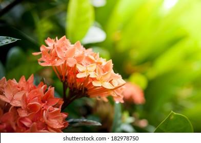 Closeup of orange  West Indian Jasmine, spike flower
