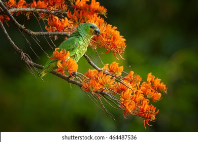 Close-up Orange-winged Parrot, Amazona amazonica, green parrot feeding on bright orange flowers of Immortelle tree, Erythrina poeppigiana. Tobago island, Trinidad and Tobago.