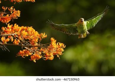Close-up Orange-winged Parrot, Amazona amazonica, green parrot flying next to bright orange flowers of Immortelle tree, Erythrina poeppigiana. Tobago island, Trinidad and Tobago.