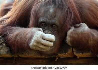 Closeup of an Orangutan covering his mouth.
