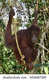 Closeup with the Orangutan in Sandakan, Sabah. Malaysia, Borneo.